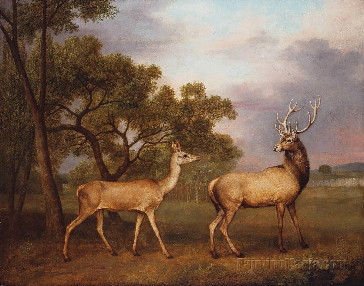 A Red Deer, a Buck and a Doe