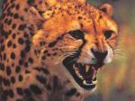 Wild Cats - 0017